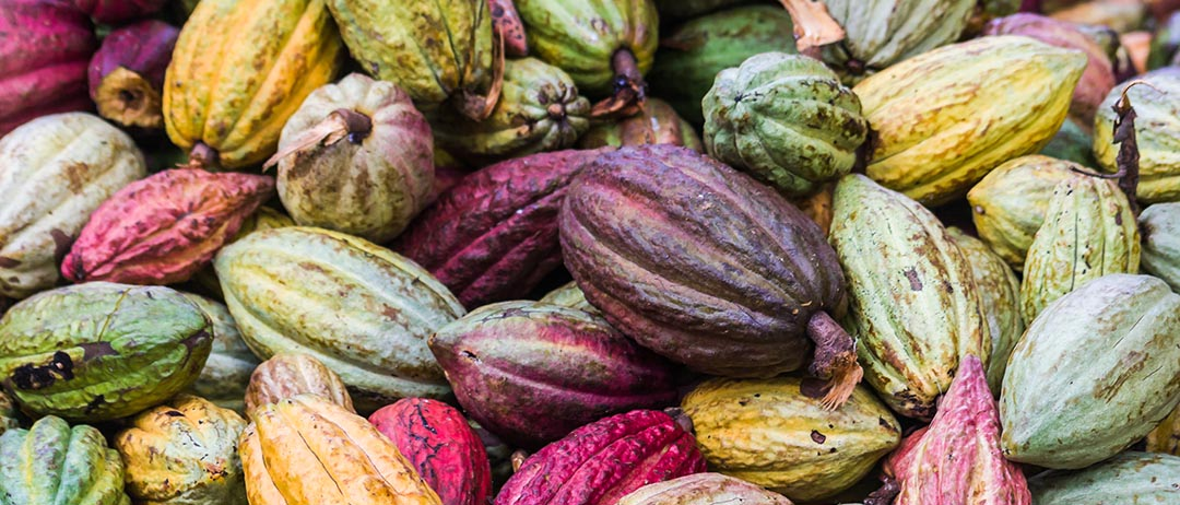 Verschiedenfarbige Kakaofrüchte