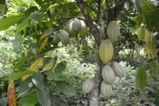 Kakaobäume mit grünen Kakaofrüchten