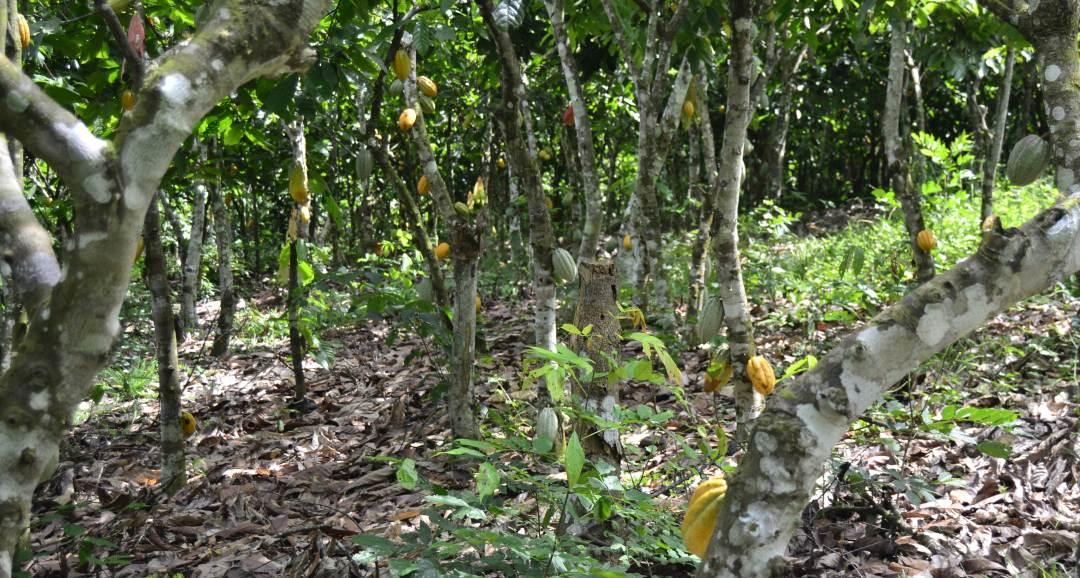 Kakaobaum Plantage mit Kakaofrüchten