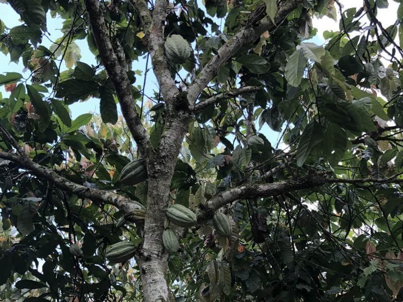 Grüner Kakaobaum mit Blättern und Fruchte
