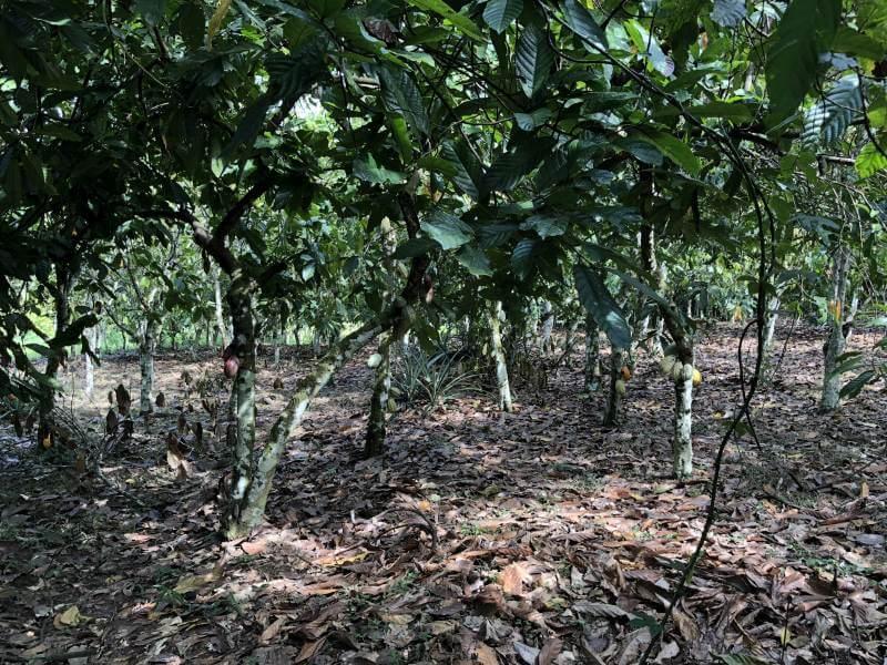 Eine kakaobaum Plantage