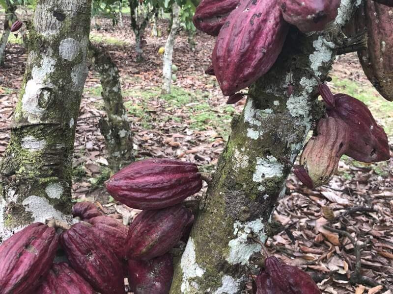 Mehrere Kakaofrüchte auf eine Kakaobaum