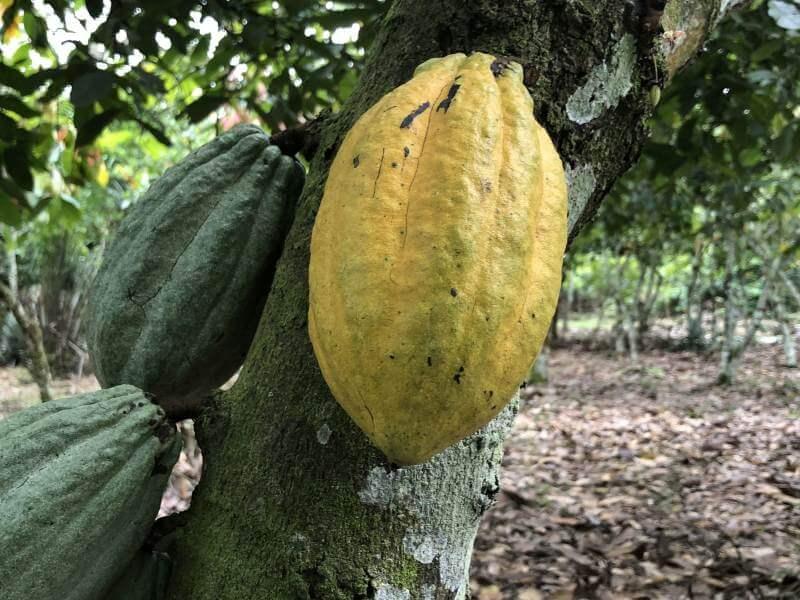 Kakaofrüchte auf einem Kakaobaum mit einer grünen Rinde