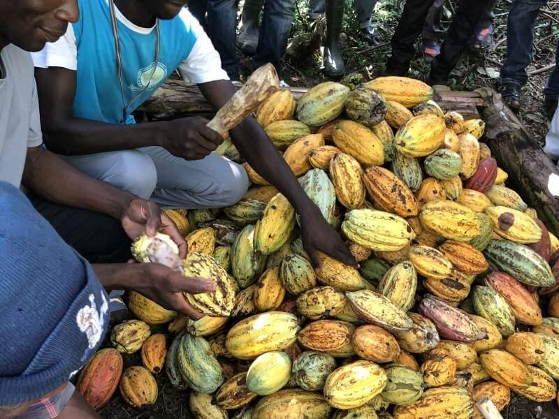 Viele Kakaofrüchte
