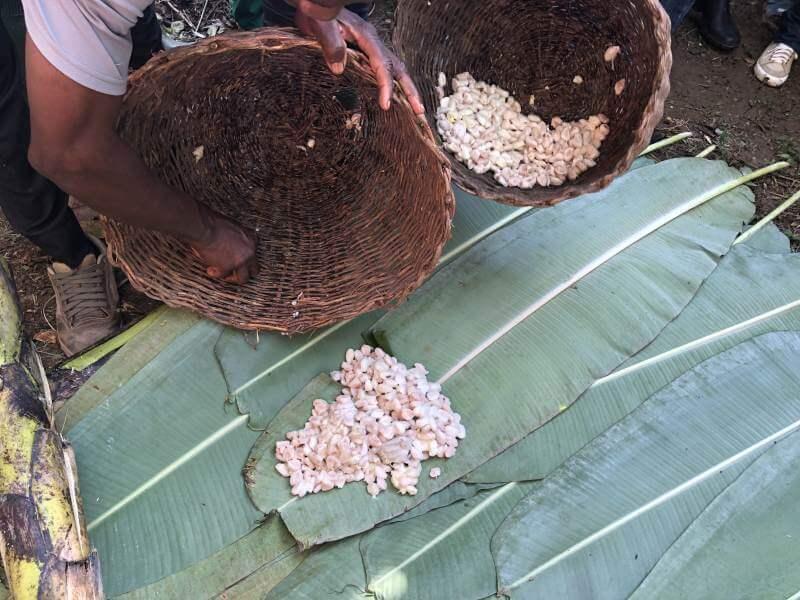 Kakaobohnen werden auf Kakaobaum Blättern verteilt und getrocknet