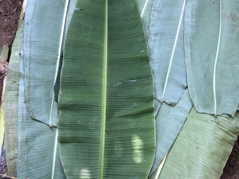 Kakaobaum Blätter