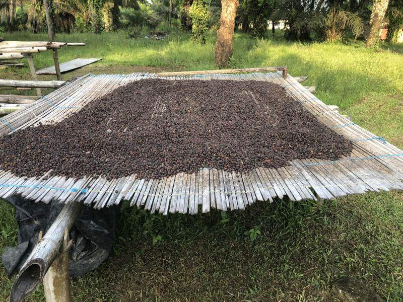 Getocknete Kakaobohnen in Natur