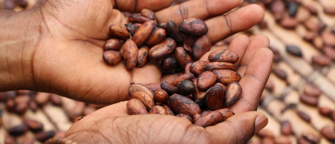 Trockene Kakaobohnen in den Innenfläche
