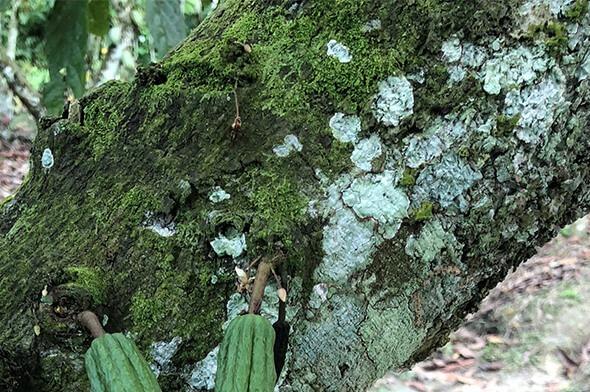 Die grüne Rinde des Kakaobaums mit gründen Früchten