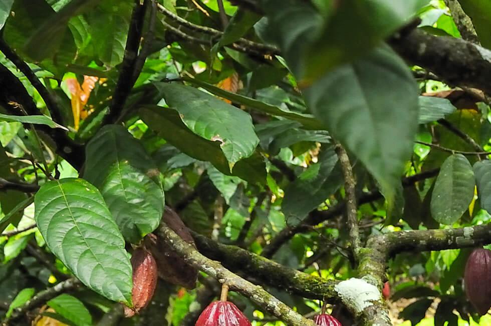 Grune Blatter des Kakaobaums