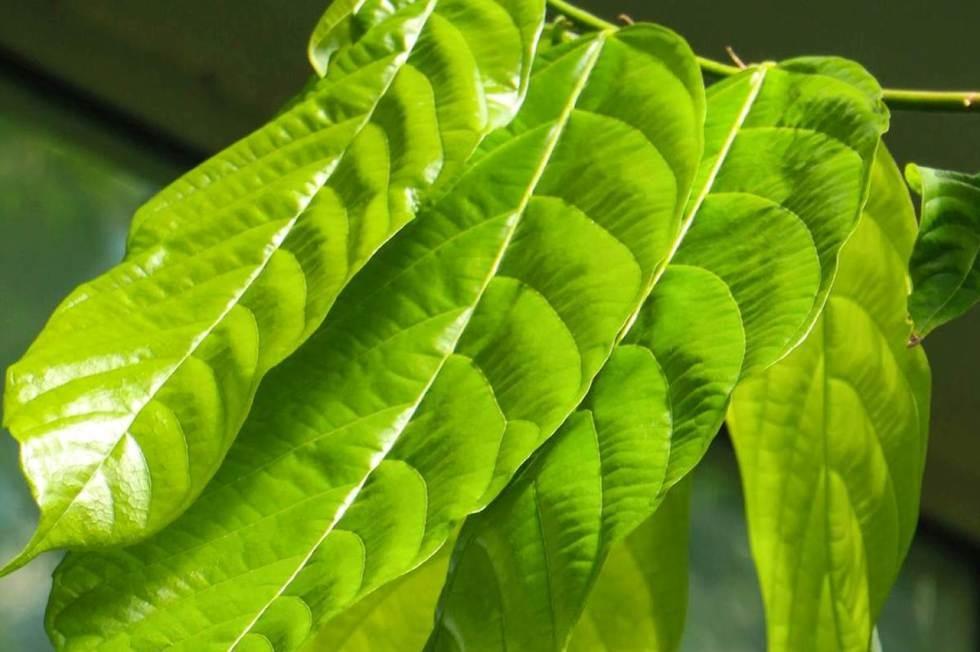 Grüne Blätter von einem Kakaobaum