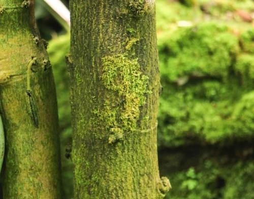 Kakaobaum mit einer grünen Rinde