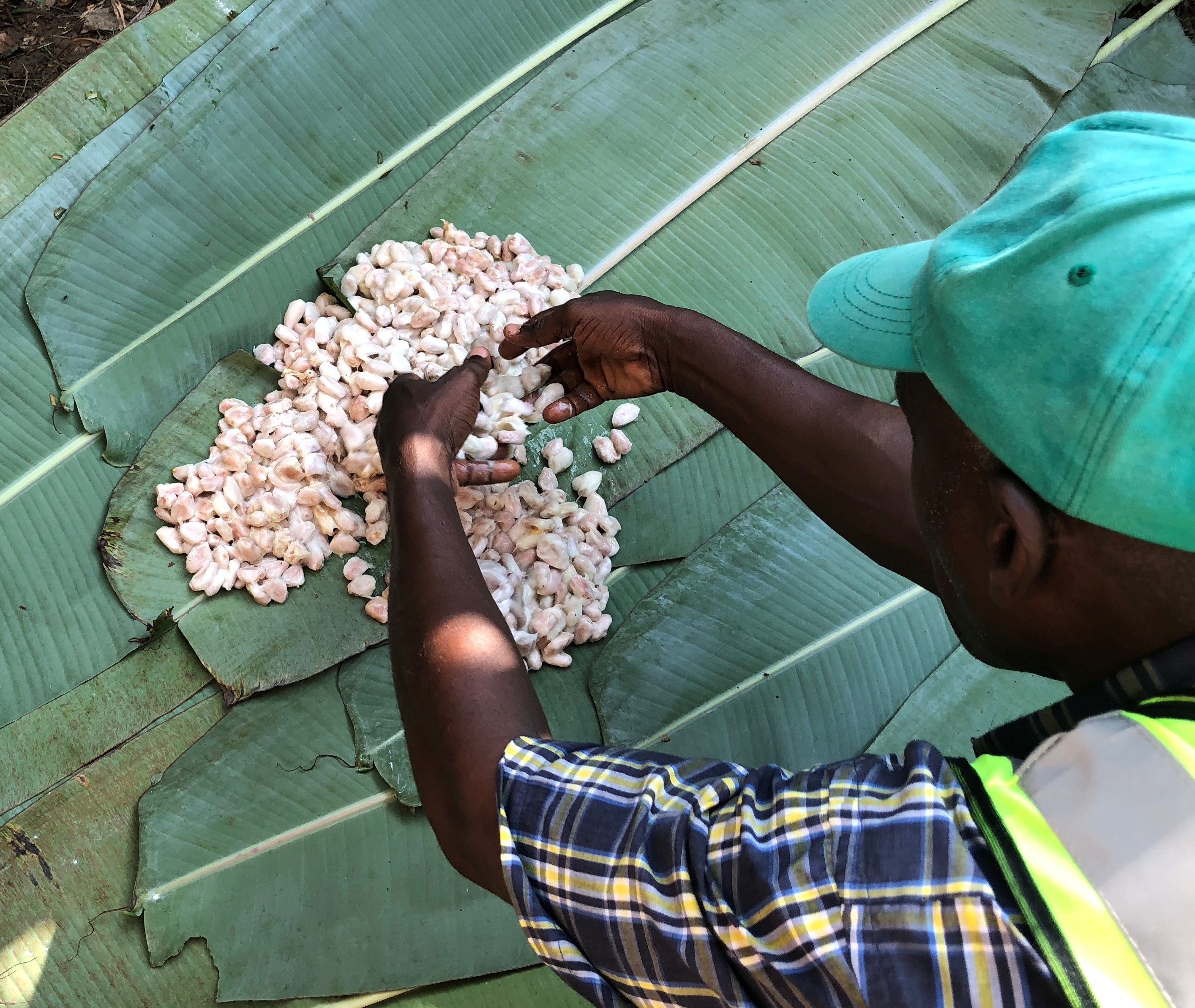Das Trocknen der Kakaobohnen in Afrika