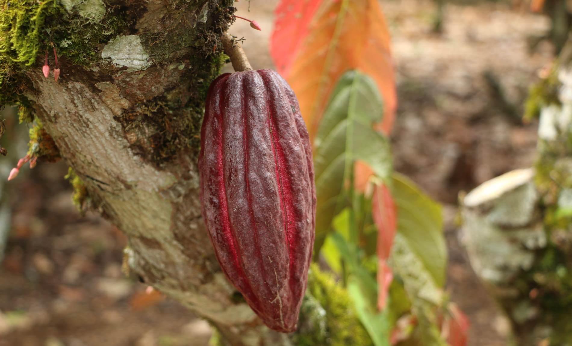 Rot Braune Kakaofruch auf einem Kakaobaum