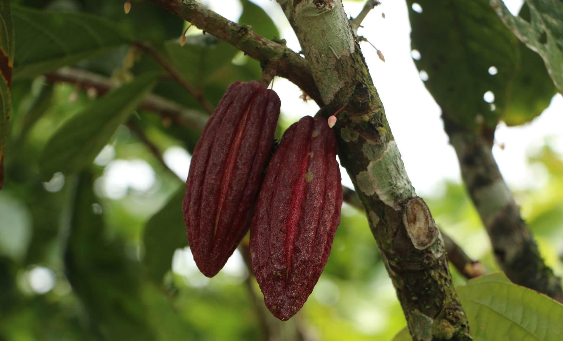 Zwei rote Kakaofrüchte auf einem grünen Kakaobaum