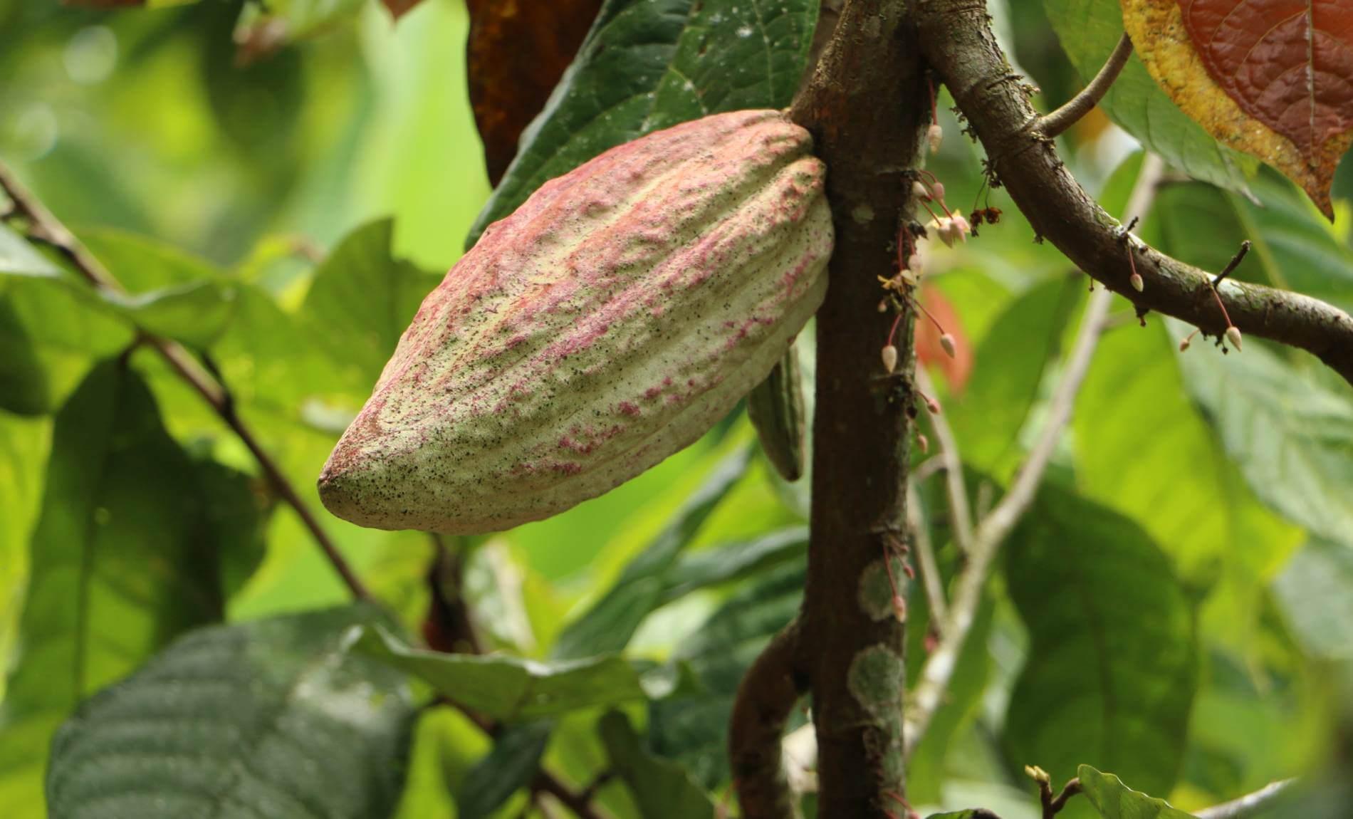 Eine grüne Kakaofrüchte auf einem grünen Kakaobaum
