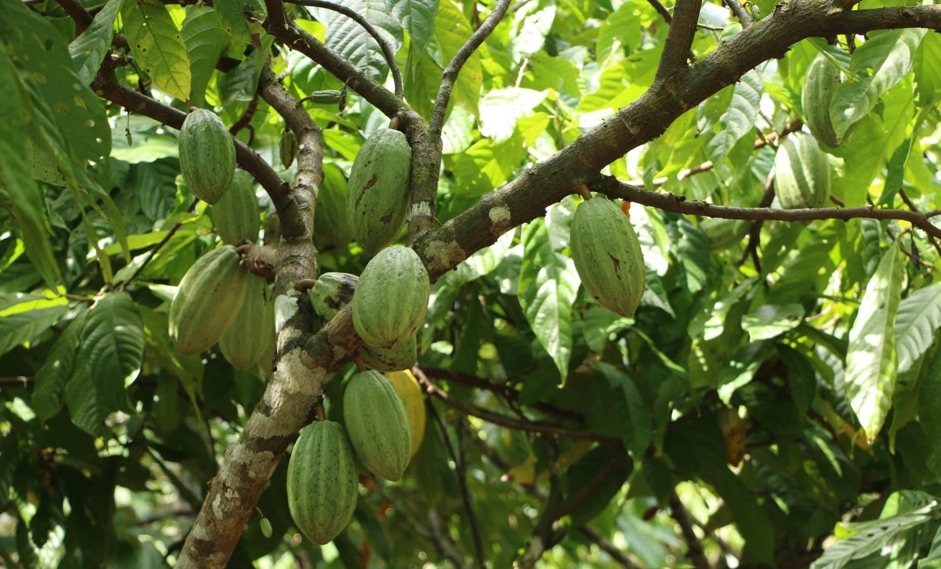 Mehrere grüne Kakaofrüchte auf einem grünen Kakaobaum