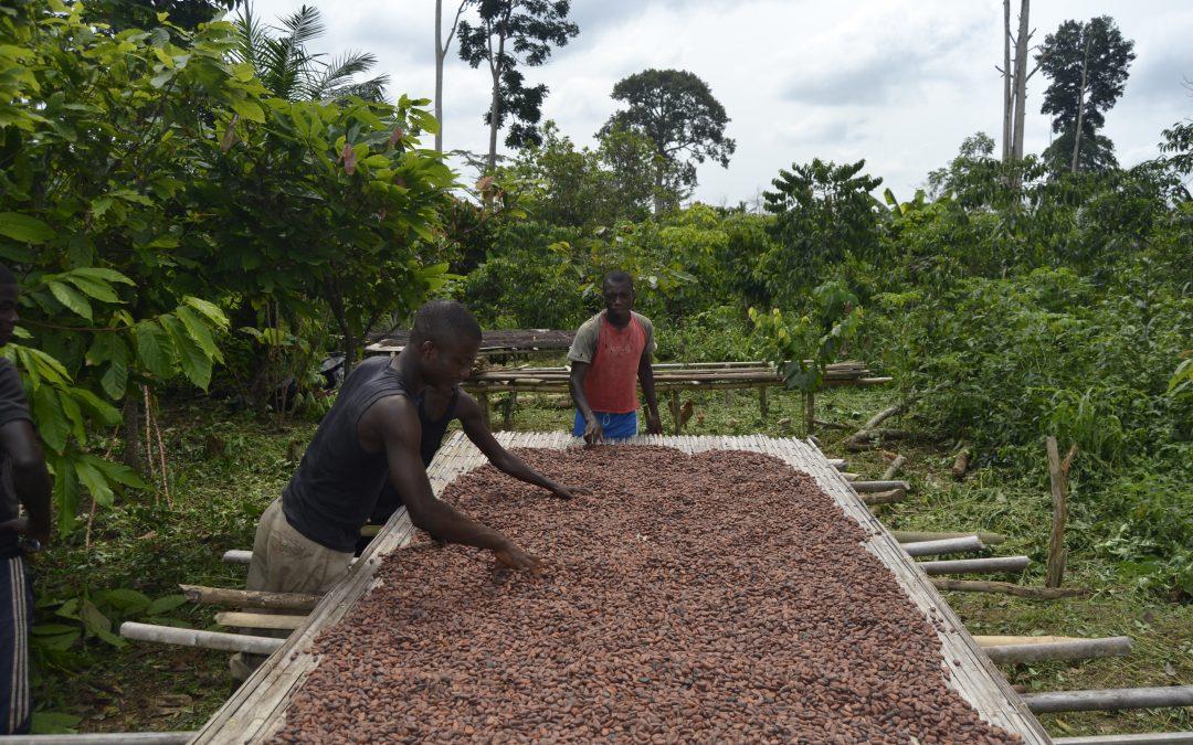 Start in die neue Kakaoernte-Saison unter besonderen Bedingungen